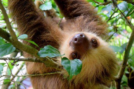 Sloth Travel to Costa Rica Cahuita National Park